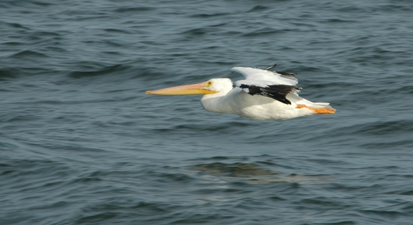 white pelican zoom RESIZE