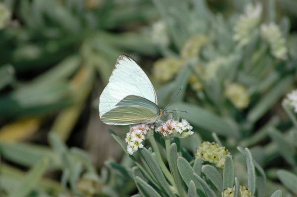 2012 02 10 great southern white butterfly RESIZE