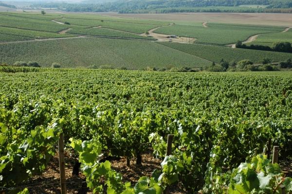 2012-09-08_889 jr chablis vineyard RESIZE
