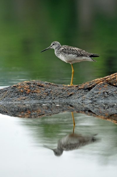 2011 08 11 yellowlegs - Copy RESIZE