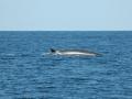 2011 07 16 gulf of maine humpback RESIZE