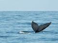 2011 07 16 humpback tail RESIZE